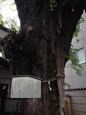 樹齢約600年のイチョウ。
