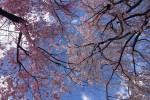 板橋 松月院の桜