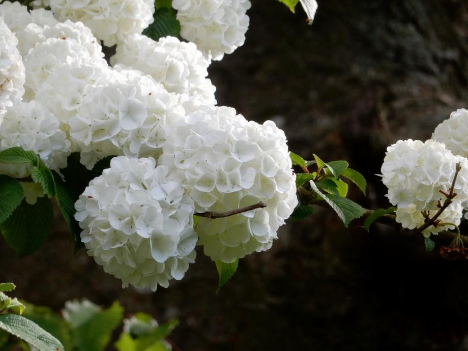晩春の白いぼんぼり