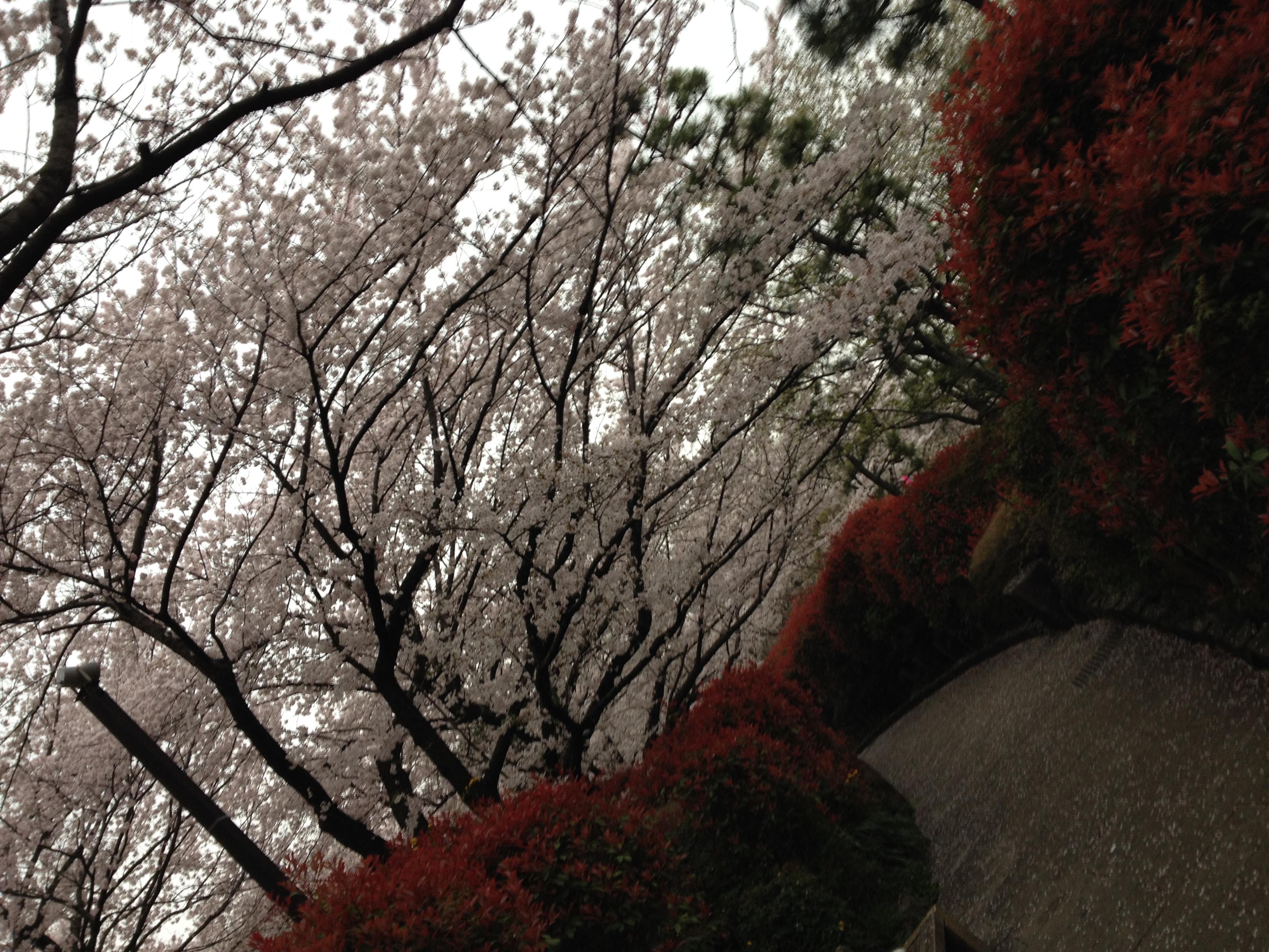 江戸の庶民の行楽の地 飛鳥山で観桜