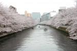 桜の穴場めぐり~門前仲町