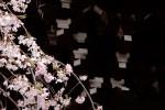 名残の桜|本駒込吉祥寺