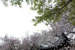 桜の穴場めぐり~法明寺