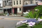 お酉様の紫陽花