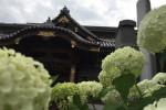 紫陽花をたどる入谷さんぽ