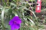 宝町のお地蔵様と紫紺野牡丹