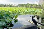 不忍の池の蓮と鵜と辯天堂