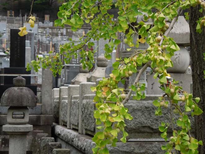 201700821_西方寺銀杏