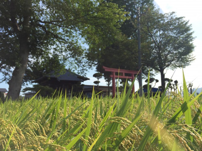 稲穂と観音堂|北上市鬼柳