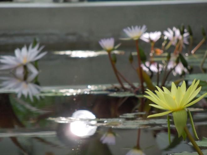 20161124_神代植物公園睡蓮