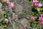 花盛りの寺々|谷中安立寺