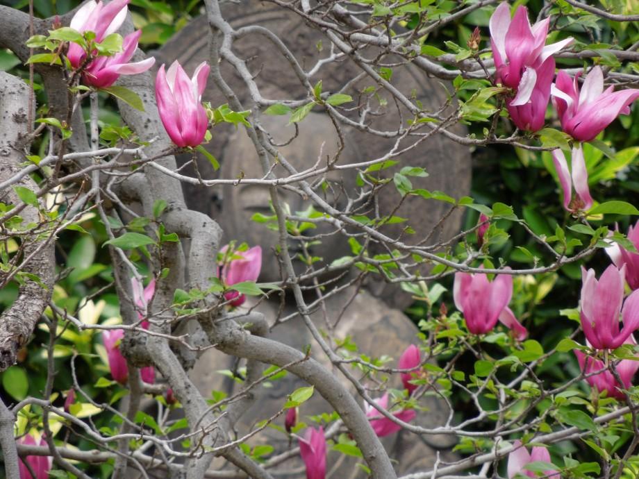 花盛りの寺々 谷中安立寺