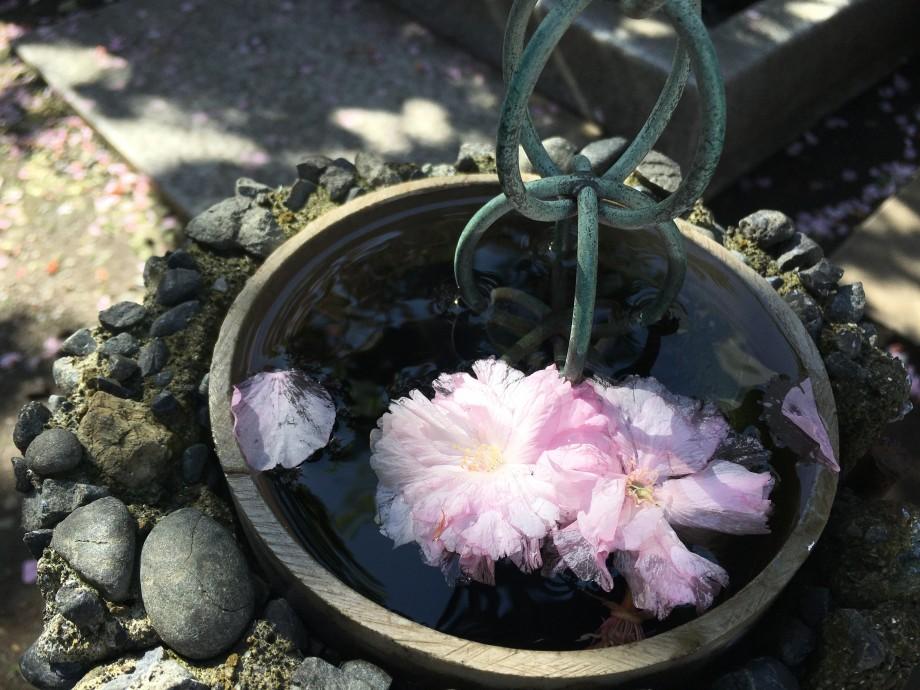 鎖樋と咲き散る桜|永代寺
