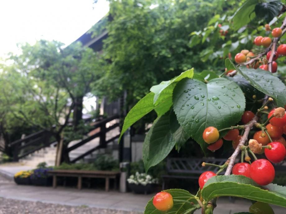 雨上がりの朝、桜桃に光る